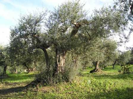 olivi-raccolta-delle-olive