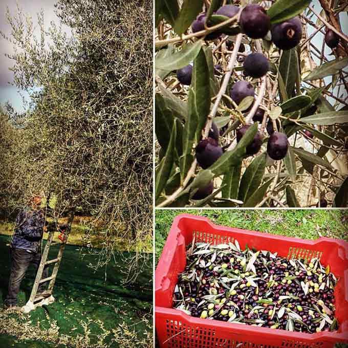 Un'altra Prelibatezza Di Toscana…l'olio Di Mignola