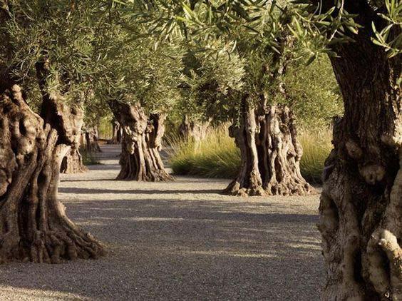 Ulivi Della Regione Toscana