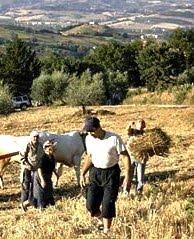 mietitori in Toscana