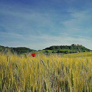 Campo-di-grano-2011