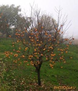albero di cachi