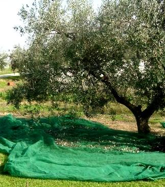 Raccolta Olive A