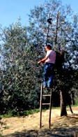 raccolta olive c