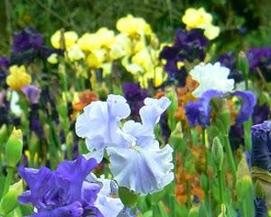 Il Giardino Degli Iris A Firenze. Aperto Dal 25 Aprile Al 20 Maggio