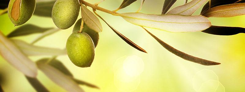 olivo toscano