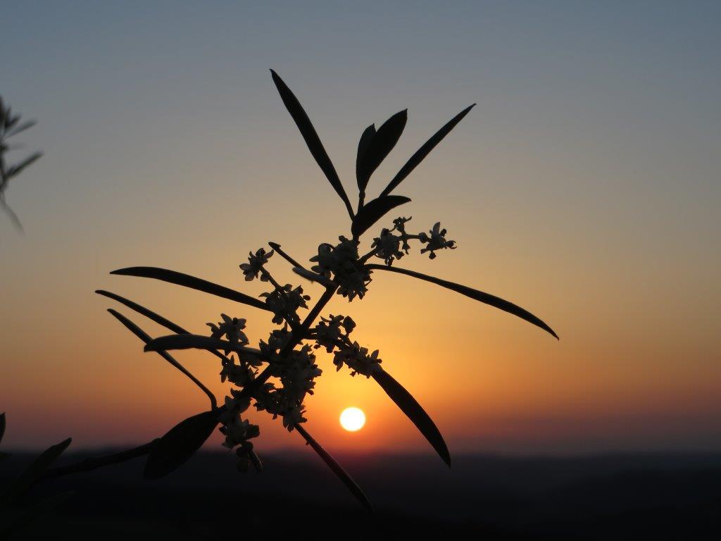 Fiori D'olivo Del Chianti. Foto Di Silvia Rogai