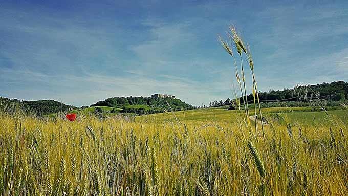 Campo-di-grano-di-Simone-Cicalini