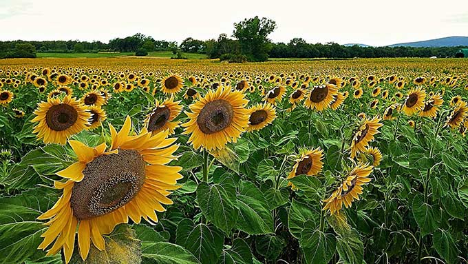 Field Of Sunflowers, Simone Cicalini Photo